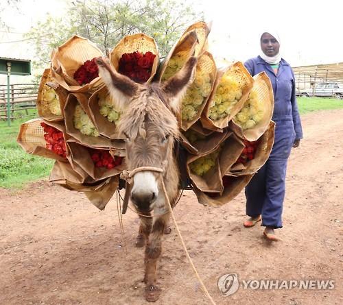 에티오피아 마을의 당나귀 [연합뉴스 자료사진]