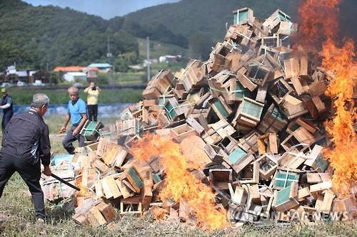 낭충봉아부패병에 감염된 벌통 소각[연합뉴스 자료사진]