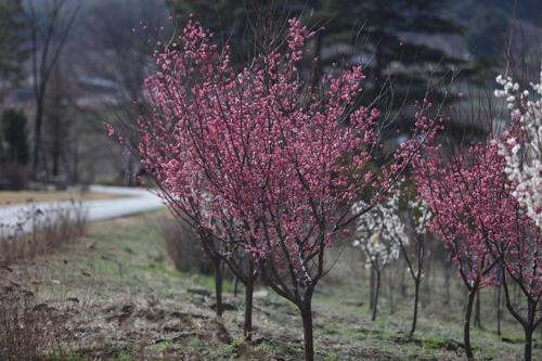 백두대간 수목원의 매실나무 [산림청 제공=연합뉴스]