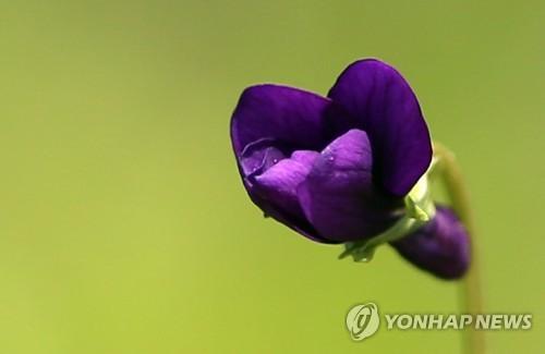 금대봉 제비꽃