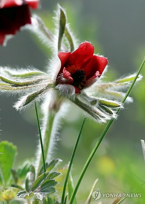 금대봉 할미꽃