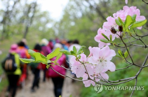 태백산 깃대봉 철쭉 [연합뉴스 자료사진]