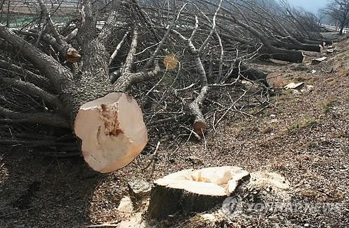 재선충 벌목작업 60대, 나뭇가지 맞아 숨져