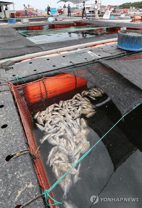 고수온으로 폐사한 물고기
