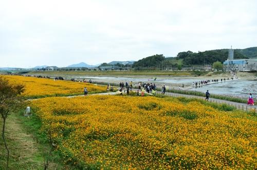 노란 꽃으로 물든 황룡강 전경. [장성군 제공=연합뉴스]