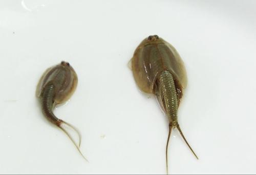 괴산서 발견된 긴꼬리투구새우 [괴산군 제공 = 연합뉴스]