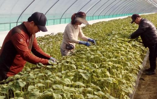 옥천의 깻잎 농가에서 펼치는 생산적 일손 봉사사업[연합뉴스 자료사진]