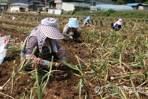 마늘 수확[연합뉴스 자료사진]