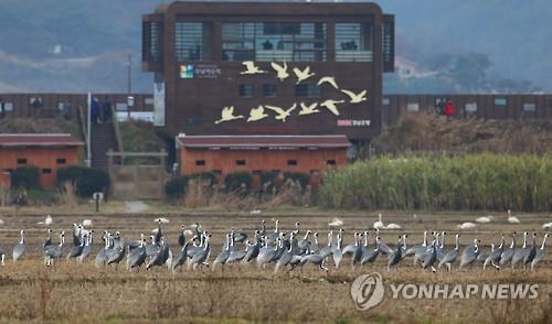 주남저수지 탐조대 앞 철새들. [연합뉴스 자료사진]