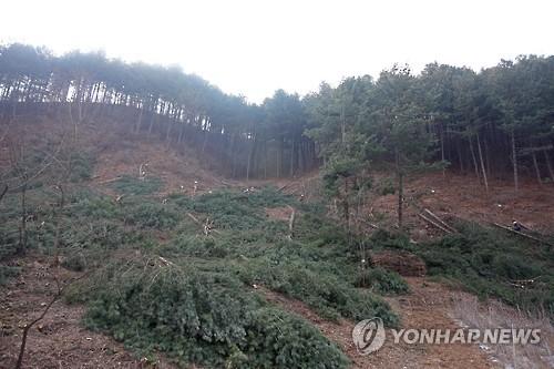 재선충병에 걸려 벌채된 소나무들 [연합뉴스 자료사진]