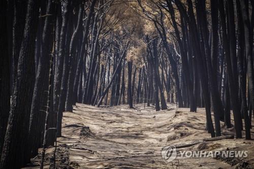 앙상하게 타버린 카스텔푸사노의 소나무 숲 [EPA=연합뉴스]