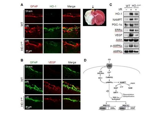 '독성물질' 일산화탄소, 뇌졸중 치료 활용 가능성 발견