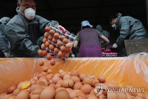 폐기되는 살충제 계란 [연합뉴스 자료사진]