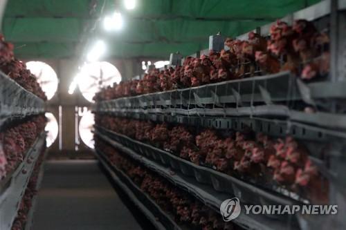 살충제 검출된 농가의 산란계들 [연합뉴스 자료사진]