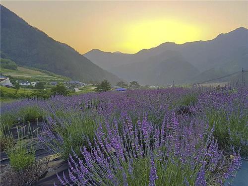 아름다운 라벤더밭을 배경으로 해가 지고 있다(성연재 기자)