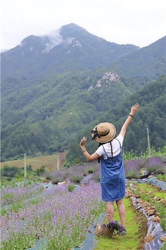라벤더농장에서는 라벤더 수확 체험을 할 수 있다(성연재 기자)