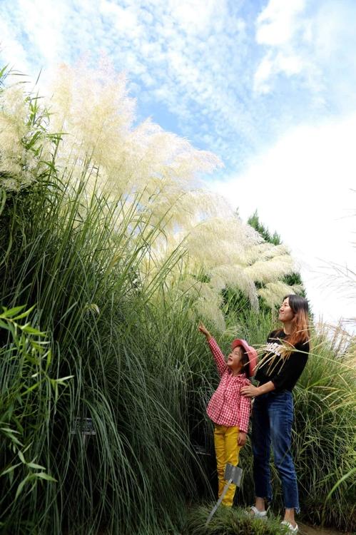 천리포수목원의 팜파스그라스