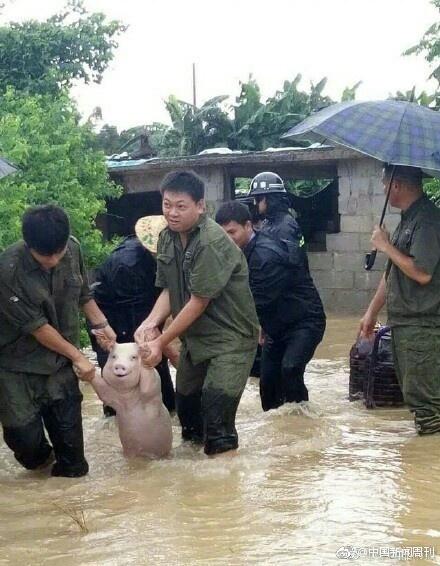 중국 광시자치구에서 구조된 '스마일 돼지' [웨이보닷컴]