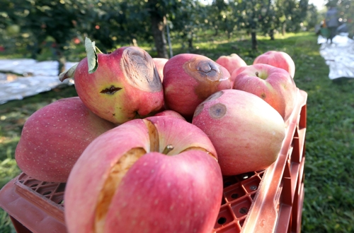 썩고 갈라진 사과