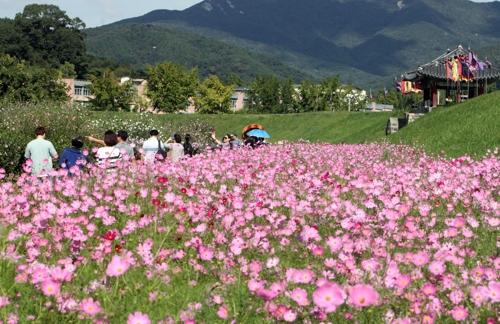 해미읍성 코스모스 꽃길을 찾은 시민들