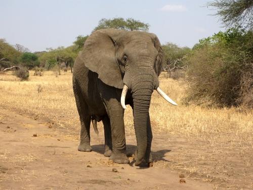 아프리카 코끼리[구글 자료사진]