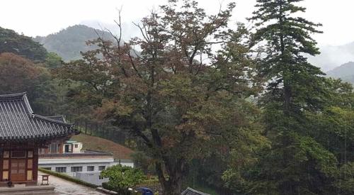 원당암 단풍나무 [부산기상청 제공=연합뉴스]