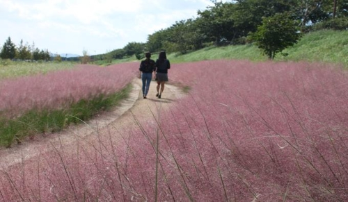 부산 대저생태공원 핑크뮬리 군락
