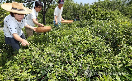 하동 녹차 수확 [연합뉴스 자료사진]