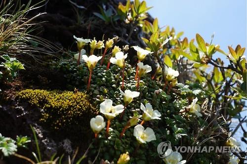 백록담 자생 멸종위기종 돌매화나무