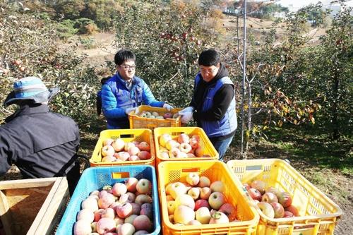 사과수확 중인 삼성디스플레이 직원[삼성디스플레이 제공=연합뉴스]