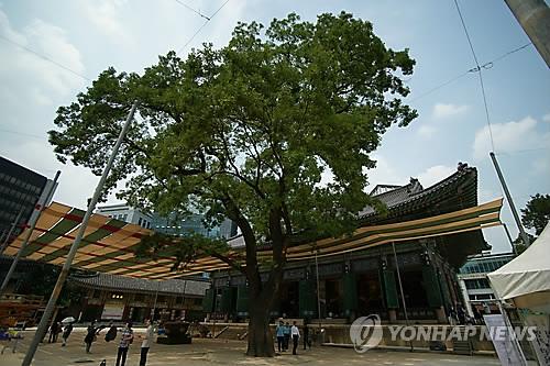 조계사 학자나무 [연합뉴스 자료사진]