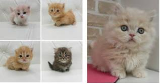 일본에서 인기 있는 미뉴에트(minuet) 고양이[야후 재팬 캡처]