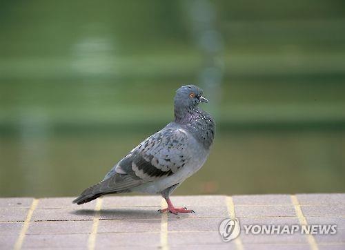 경기도 상징 새(道鳥) 비둘기[연합뉴스 자료사진]