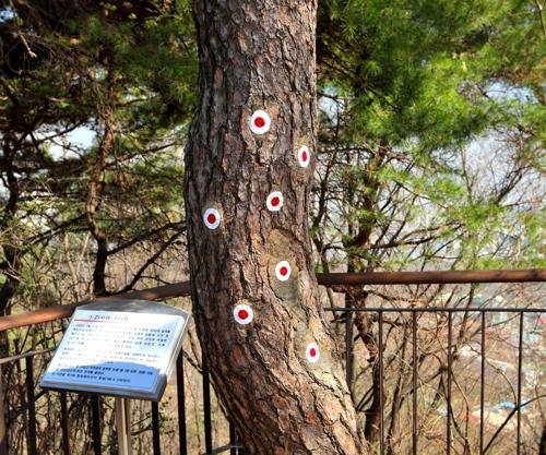 [사진오늘] 그날 생긴 상처, '총탄 소나무'의 증언