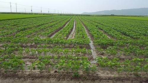 콩 재배 중인 논