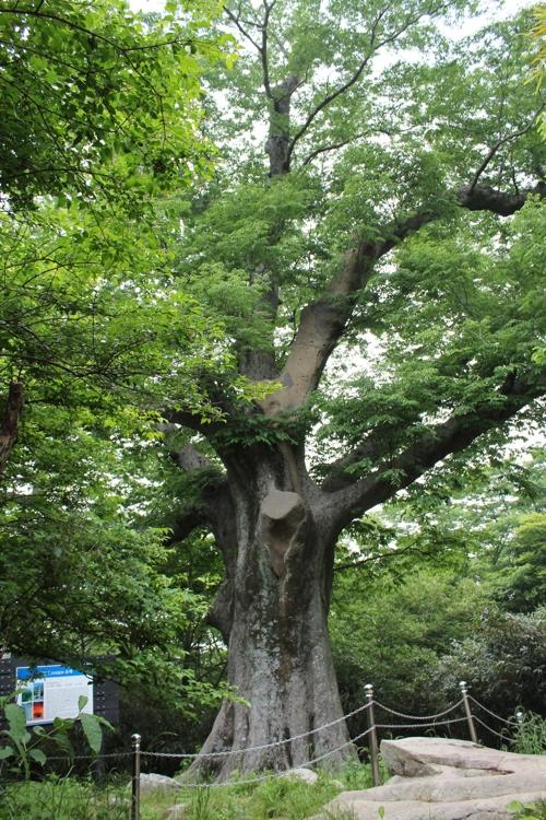 해남 느티나무