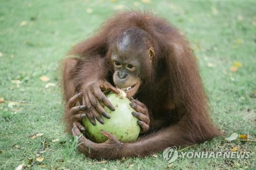 발리 동물원의 오랑우탄[epa=연합뉴스 자료사진]