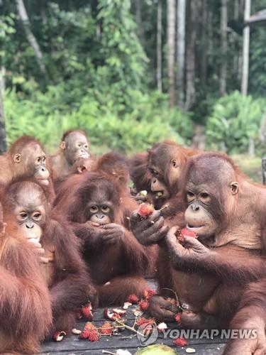 보르네오섬 보호지역에 있는 오랑우탄[dpa=연합뉴스]