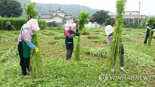대마 수확 모습 [안동시제공=연합뉴스 자료사진]