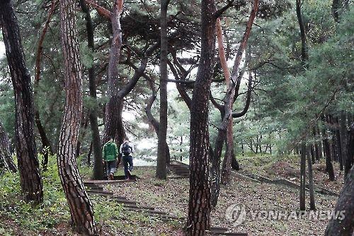 충북 옥천 장계관광지 소나무 숲
