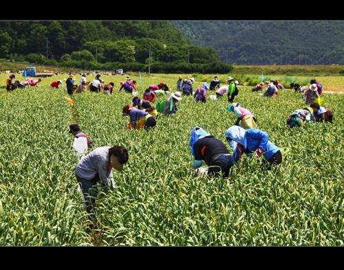 [쉿! 우리동네] 알싸한 마늘 향 가득한 경북 의성