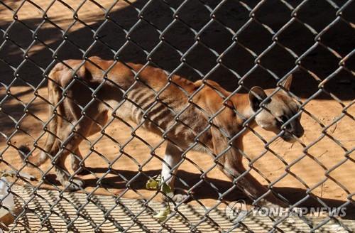 먹지 못해 뼈만 앙상하게 남은 베네수엘라 동물원의 푸마