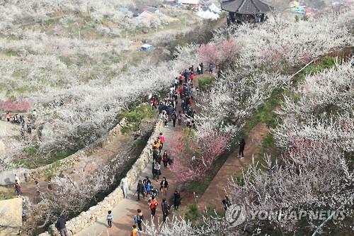 광양매화축제[연합뉴스 자료사진]