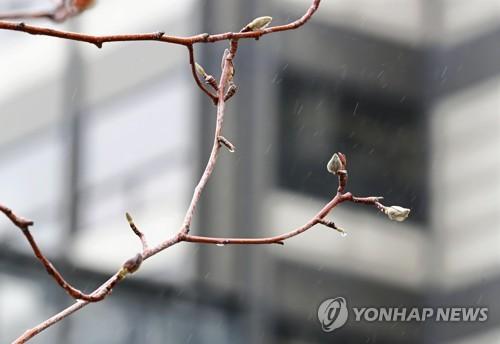 봄비에 젖은 목련 꽃망울 [연합뉴스 자료사진]