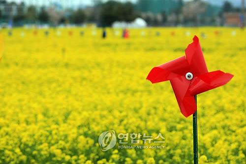 삼척 상맹방리 유채꽃밭[연합뉴스 자료사진]