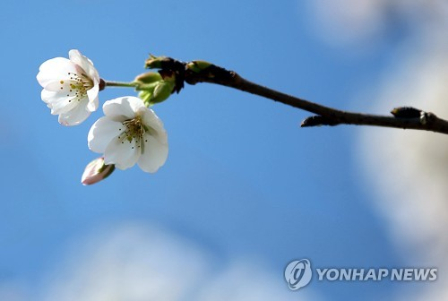 삼척 옛 7번 국도변 벚꽃[연합뉴스 자료사진]