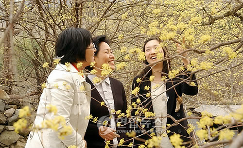 용궁마을 산수유꽃 [연합뉴스 자료사진]