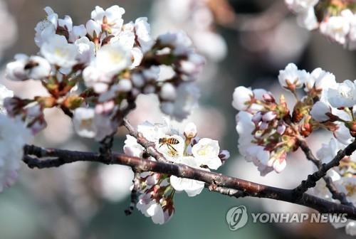 벚꽃 개화 시작