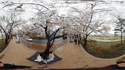 [VR현장] 꽃 대궐…여의도 벚꽃 벚꽃 벚꽃