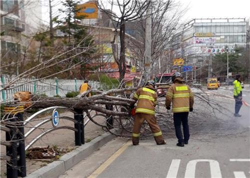 강풍에 쓰러진 가로수[인천 서부소방서 제공=연합뉴스]